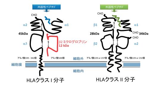 用語集 HLAクラスII   HLA技術情報   ベリタス