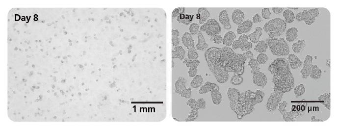 注目の製品情報ヒトES/iPS細胞から長期培養可能な「ミニ腸」オルガノイドを効率的に!STEMdiff Intestinal Organoid Kit 概要データ例関連情報関連製品記事に関するお問い合わせ株式会社ベリタス